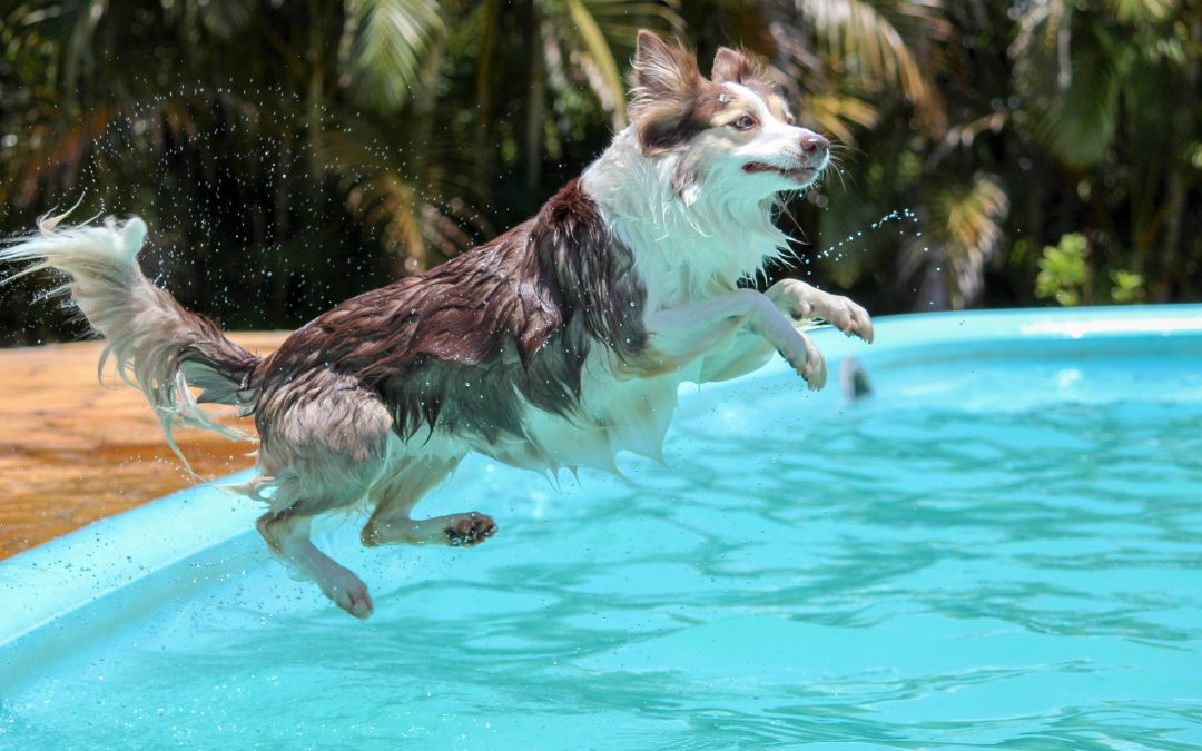 Ask a Vancouver swimming pool contractor: Can my dog swim in my pool?